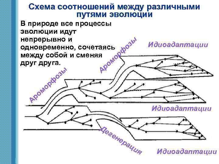 Схема соотношений между различными путями эволюции В природе все процессы эволюции идут непрерывно и