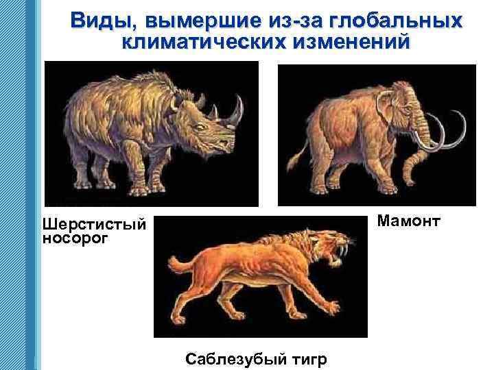 Виды, вымершие из-за глобальных климатических изменений Мамонт Шерстистый носорог www. themegallery. com Саблезубый тигр