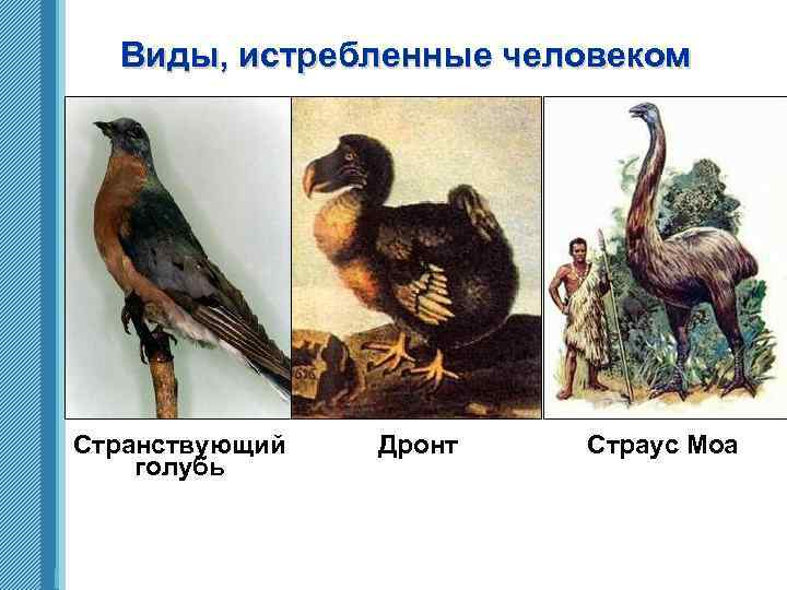Виды, истребленные человеком Странствующий голубь www. themegallery. com Дронт Страус Моа