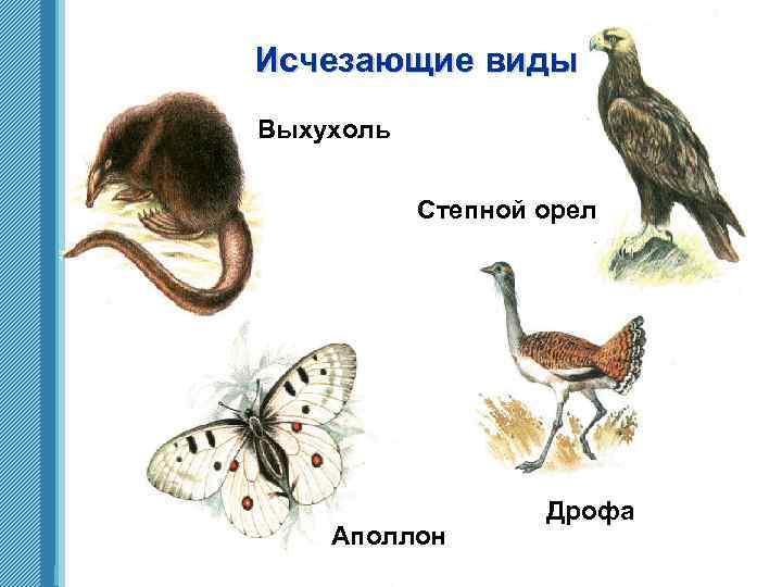 Исчезающие виды Выхухоль Степной орел Аполлон www. themegallery. com Дрофа