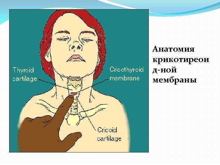 Анатомия крикотиреои д-ной мембраны