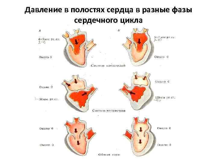 Давление в полостях сердца в разные фазы сердечного цикла