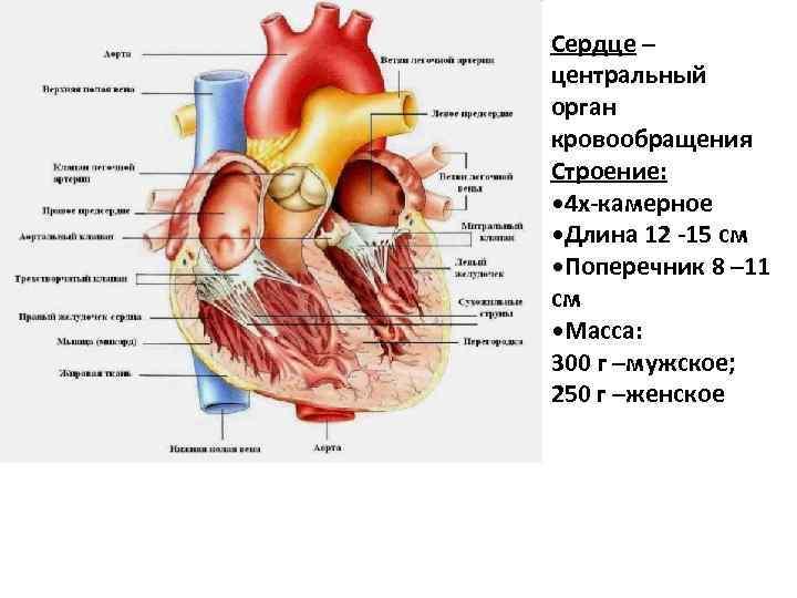 Сердце – центральный орган кровообращения Строение: • 4 х-камерное • Длина 12 -15 см