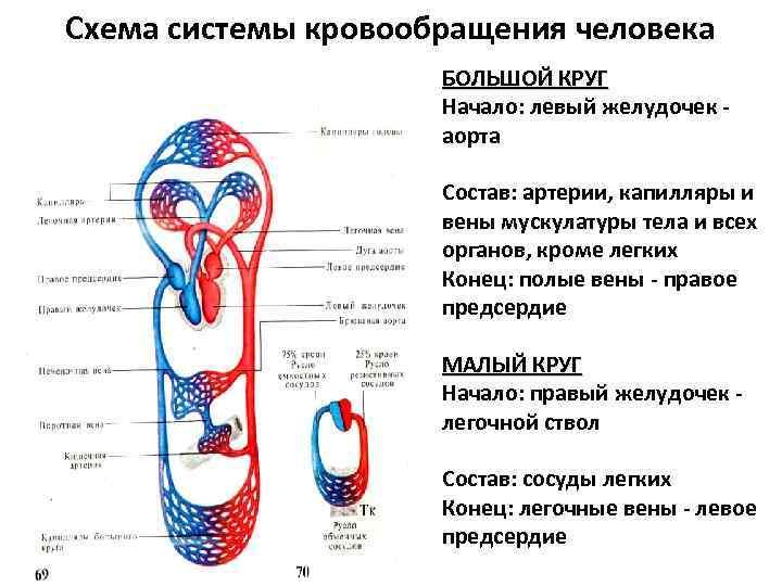 Схема системы кровообращения человека БОЛЬШОЙ КРУГ Начало: левый желудочек - аорта Состав: артерии, капилляры