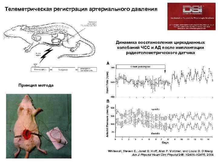 Телеметрическая регистрация артериального давления артериального Радиотелеметрическая регистрация давления у мышей Динамика восстановления циркадианных колебаний