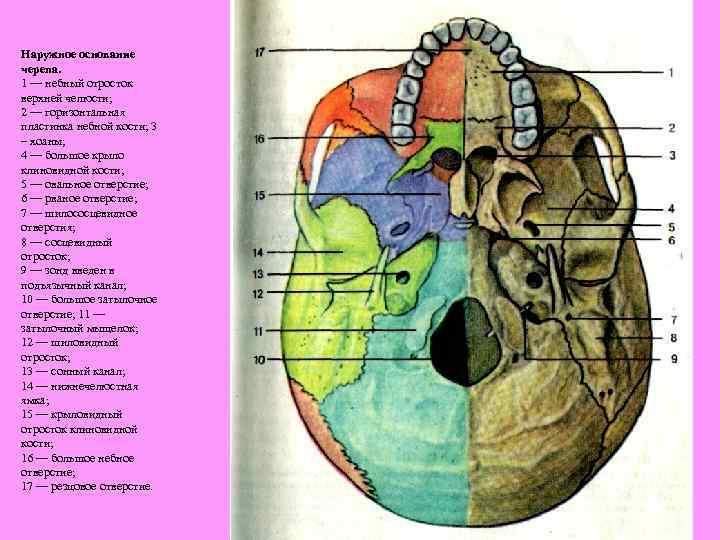 основание черепа анатомия в картинках контраст красно-коричневого