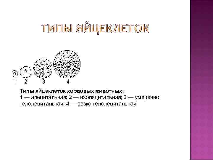 Типы яйцеклеток хордовых животных: 1 — алецитальная; 2 — изолецитальная; 3 — умеренно телолецитальная;
