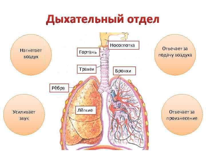 Дыхательный отдел Носоглотка Нагнетает воздух Гортань Трахея Отвечает за подачу воздуха Бронхи Рёбра Усиливает
