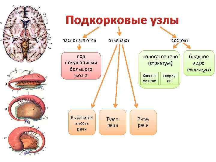 Подкорковые узлы располагаются отвечают под полушариями большого мозга Выразител ьность речи состоят полосатое тело