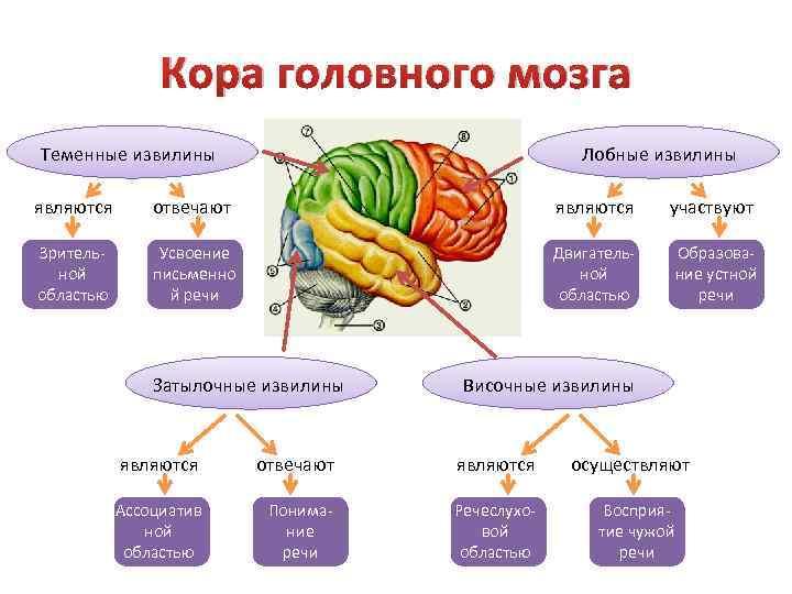 Кора головного мозга Теменные извилины Лобные извилины являются отвечают являются участвуют Зрительной областью Усвоение