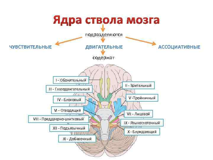 Ядра ствола мозга подразделяются ЧУВСТВИТЕЛЬНЫЕ ДВИГАТЕЛЬНЫЕ АССОЦИАТИВНЫЕ содержат I - Обонятельный III - Глазодвигательный