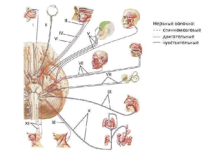 Нервные волокна: - - - спинномозговые двигательные чувствительные
