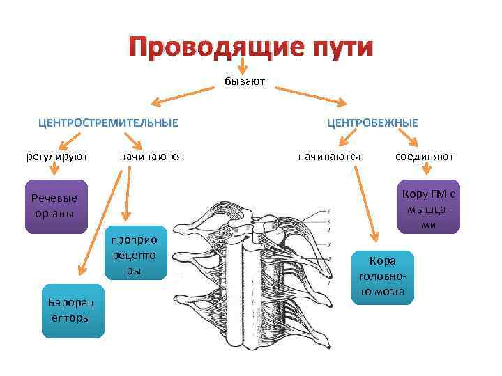 Проводящие пути бывают ЦЕНТРОСТРЕМИТЕЛЬНЫЕ регулируют начинаются соединяют Кору ГМ с мышцами Речевые органы проприо