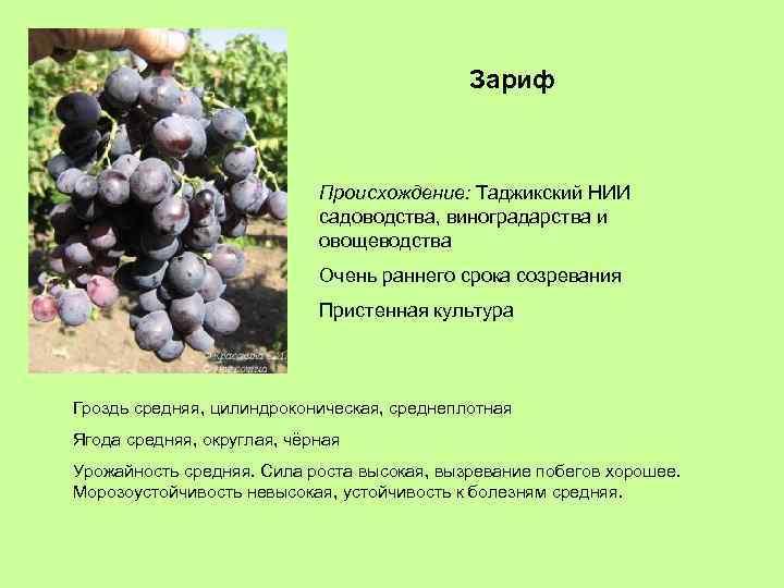 Зариф Происхождение: Таджикский НИИ садоводства, виноградарства и овощеводства Очень раннего срока созревания Пристенная культура