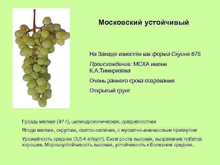 Московский устойчивый На Западе известен как форма Скуиня 675 Происхождение: МСХА имени К. А.