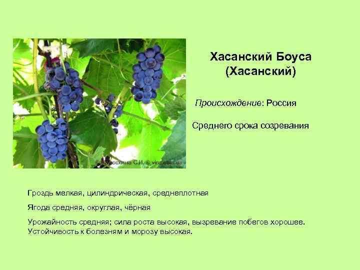 Хасанский Боуса (Хасанский) Происхождение: Россия Среднего срока созревания Гроздь мелкая, цилиндрическая, среднеплотная Ягода средняя,