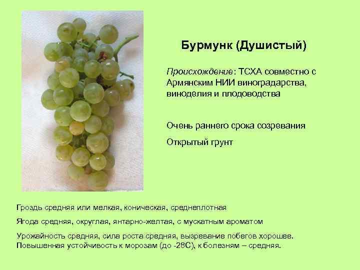 Бурмунк (Душистый) Происхождение: ТСХА совместно с Армянским НИИ виноградарства, виноделия и плодоводства Очень раннего