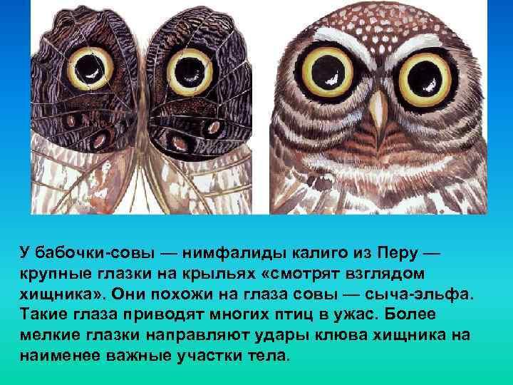У бабочки-совы — нимфалиды калиго из Перу — крупные глазки на крыльях «смотрят взглядом