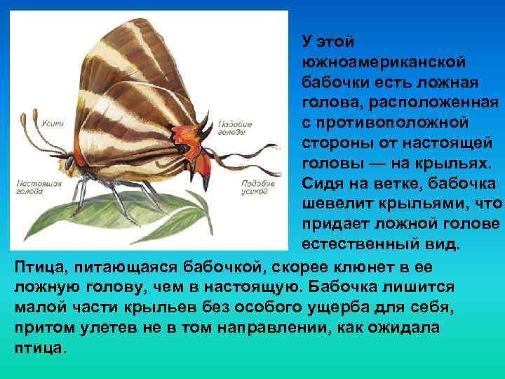 У этой южноамериканской бабочки есть ложная голова, расположенная с противоположной стороны от настоящей головы