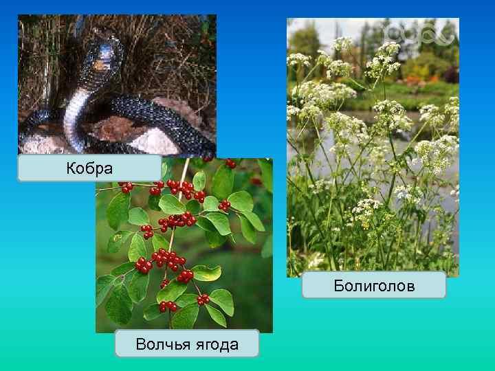 Кобра Болиголов Волчья ягода