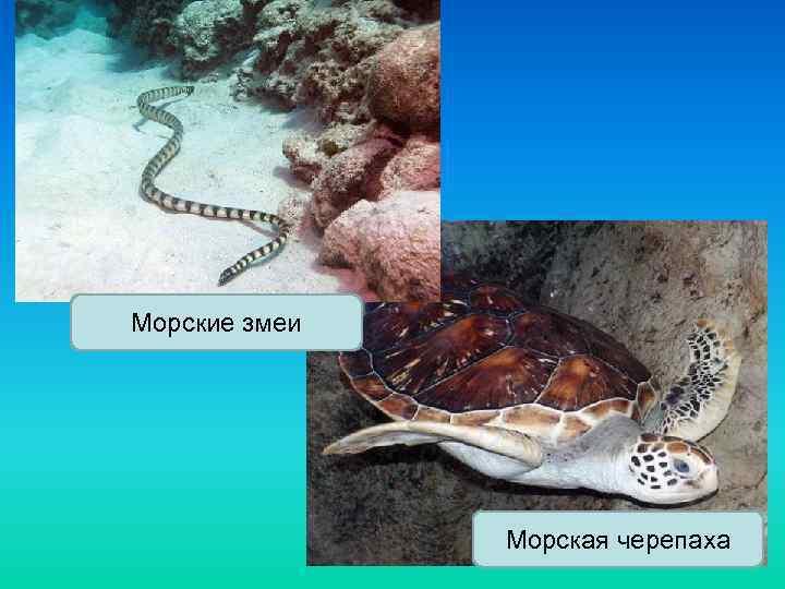 Морские змеи Морская черепаха