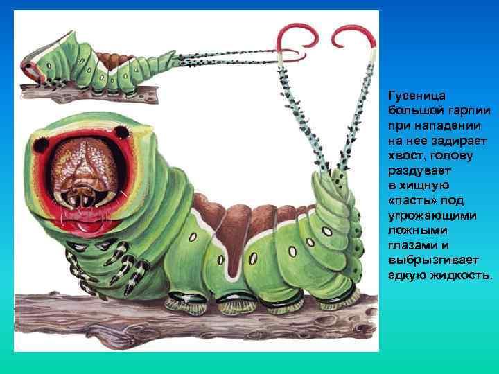 Гусеница большой гарпии при нападении на нее задирает хвост, голову раздувает в хищную «пасть»
