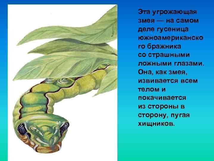 Эта угрожающая змея — на самом деле гусеница южноамериканско го бражника со страшными ложными