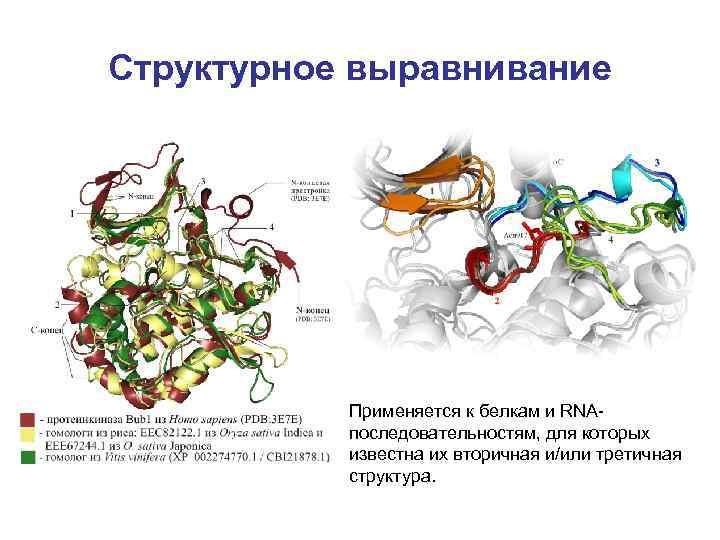Структурное выравнивание Применяется к белкам и RNAпоследовательностям, для которых известна их вторичная и/или третичная