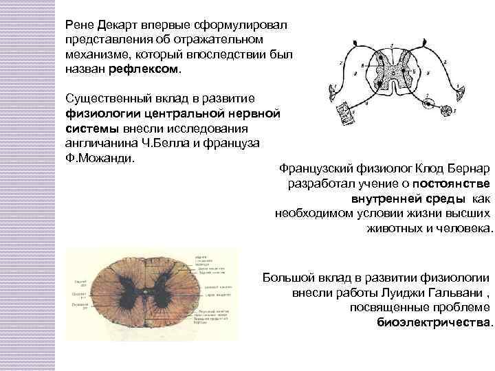 Рене Декарт впервые сформулировал представления об отражательном механизме, который впоследствии был назван рефлексом. Существенный
