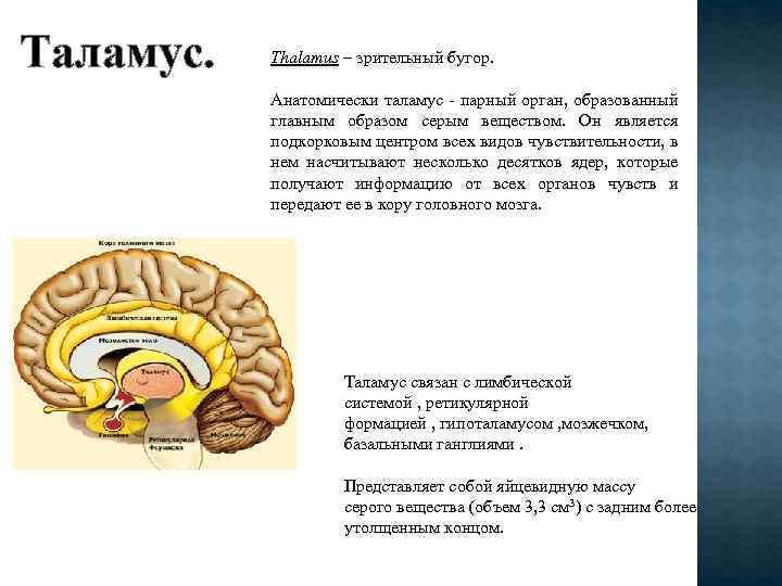 Таламус. Thalamus – зрительный бугор. Анатомически таламус парный орган, образованный главным образом серым веществом.