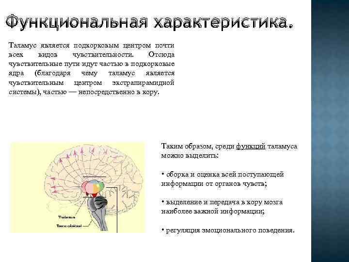 Функциональная характеристика. Таламус является подкорковым центром почти всех видов чувствительности. Отсюда чувствительные пути идут