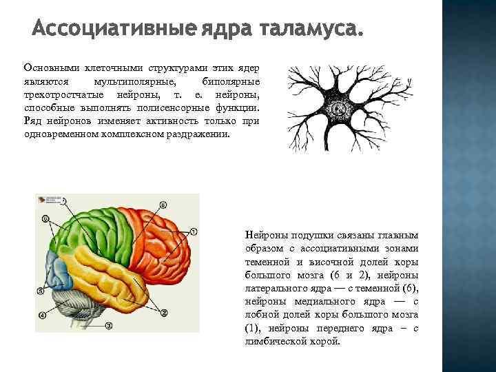 Ассоциативные ядра таламуса. Основными клеточными структурами этих ядер являются мультиполярные, биполярные трехотростчатые нейроны, т.
