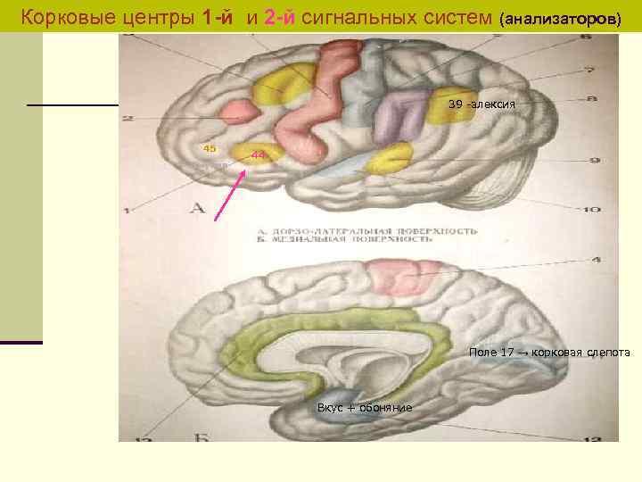 Корковые центры 1 -й и 2 -й сигнальных систем (анализаторов) 39 -алексия 45 амузия