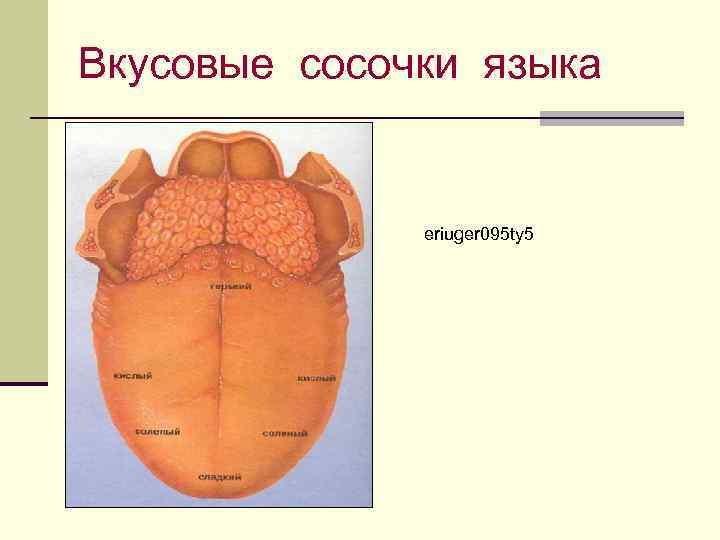 Вкусовые сосочки языка eriuger 095 ty 5