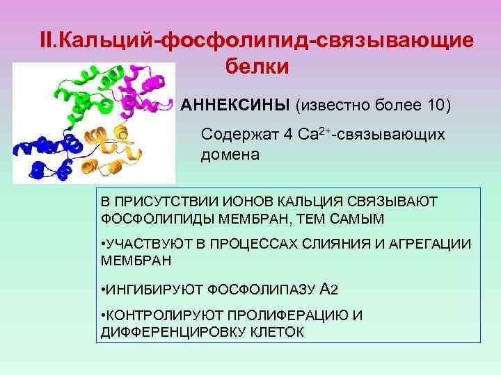 II. Кальций-фосфолипид-связывающие белки АННЕКСИНЫ (известно более 10) Содержат 4 Са 2+-связывающих домена В ПРИСУТСТВИИ