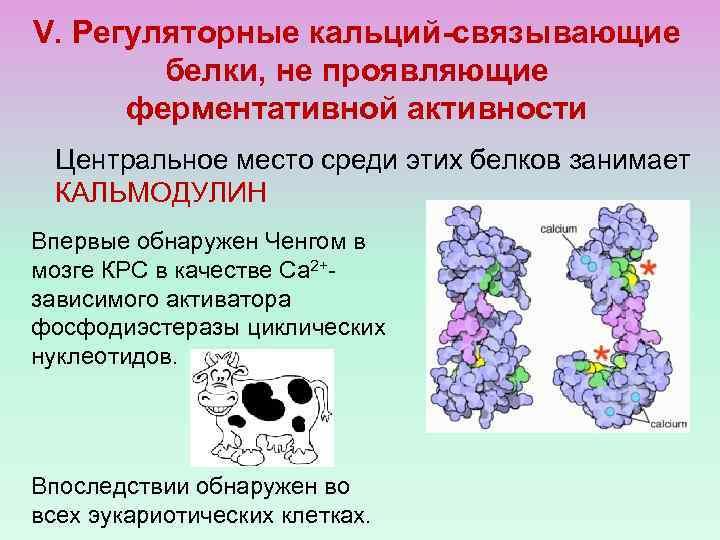 V. Регуляторные кальций-связывающие белки, не проявляющие ферментативной активности Центральное место среди этих белков занимает