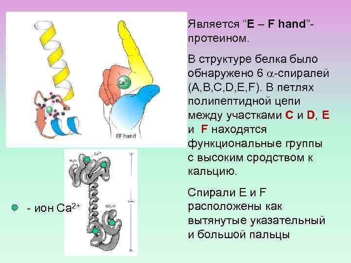 "Является ""E – F hand""протеином. В структуре белка было обнаружено 6 -спиралей (A, B,"