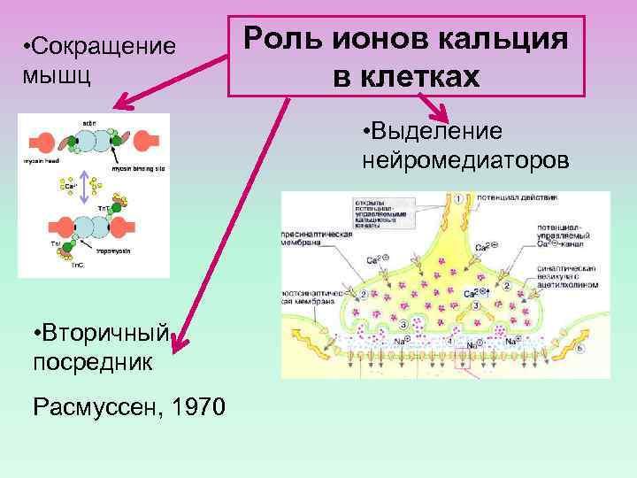• Сокращение мышц Роль ионов кальция в клетках • Выделение нейромедиаторов • Вторичный