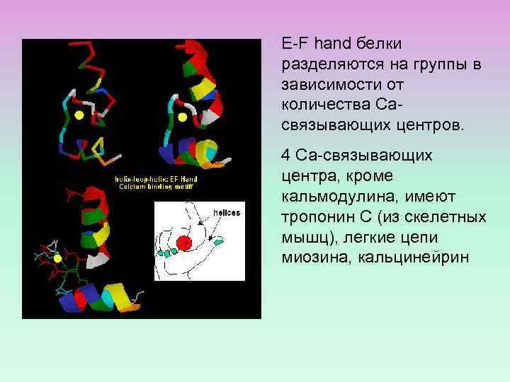 E-F hand белки разделяются на группы в зависимости от количества Сасвязывающих центров. 4 Са-связывающих