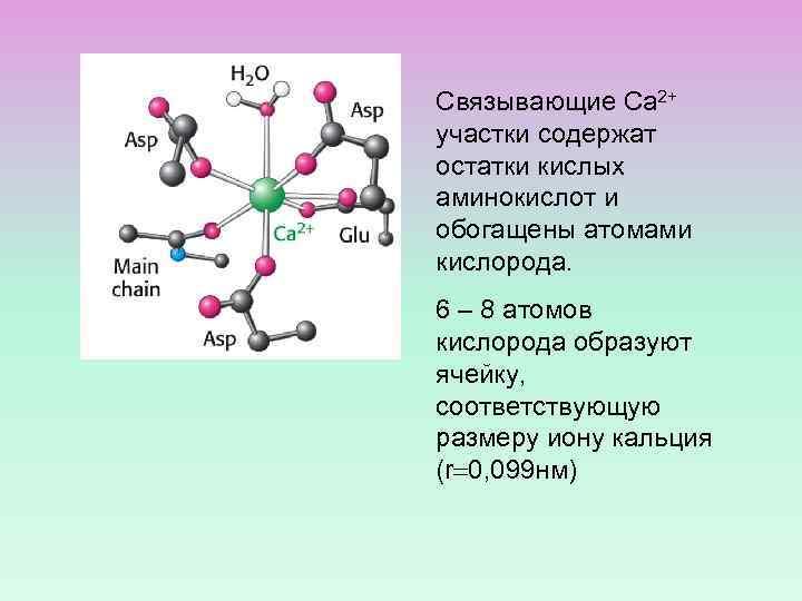 Связывающие Са 2+ участки содержат остатки кислых аминокислот и обогащены атомами кислорода. 6 –