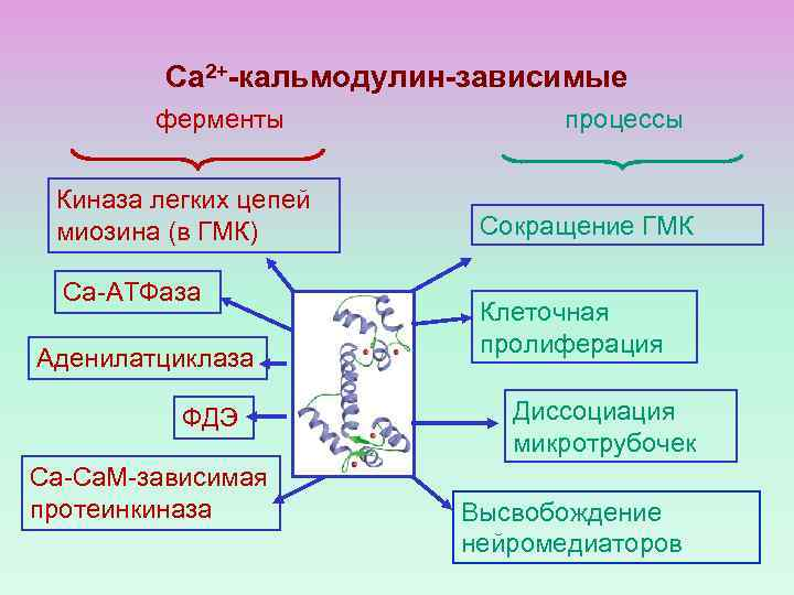 Са 2+-кальмодулин-зависимые ферменты Киназа легких цепей миозина (в ГМК) Са-АТФаза Аденилатциклаза ФДЭ Са-Са. М-зависимая