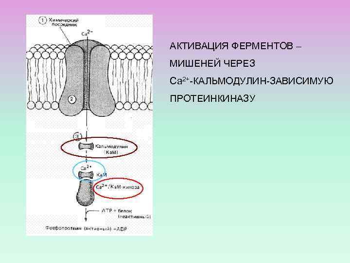 АКТИВАЦИЯ ФЕРМЕНТОВ – МИШЕНЕЙ ЧЕРЕЗ Са 2+-КАЛЬМОДУЛИН-ЗАВИСИМУЮ ПРОТЕИНКИНАЗУ