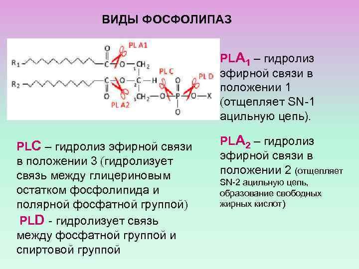 ВИДЫ ФОСФОЛИПАЗ PLА 1 – гидролиз эфирной связи в положении 1 (отщепляет SN-1 ацильную