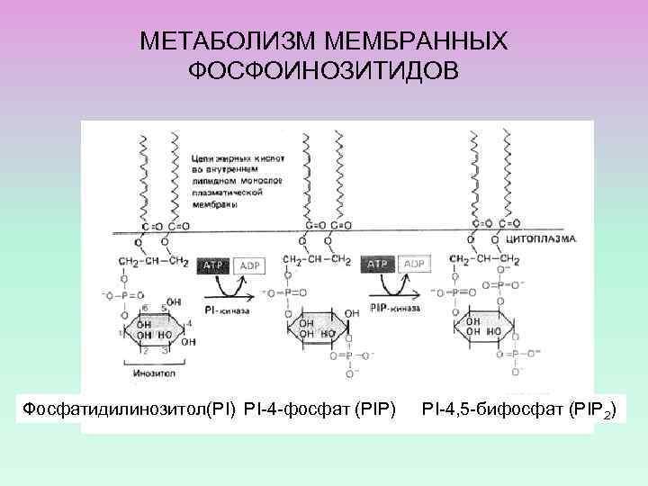 МЕТАБОЛИЗМ МЕМБРАННЫХ ФОСФОИНОЗИТИДОВ Фосфатидилинозитол(PI) PI-4 -фосфат (PIP) PI-4, 5 -бифосфат (PIP 2)