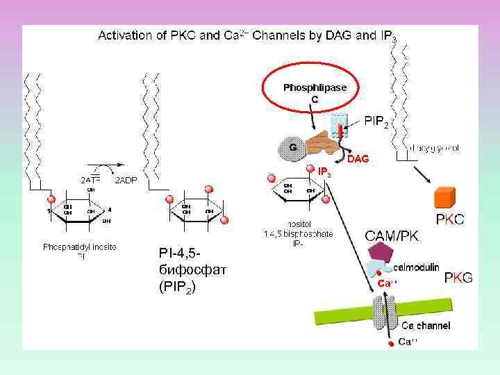 PI-4, 5 бифосфат (PIP 2)