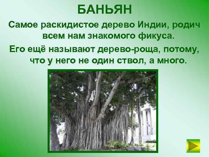 БАНЬЯН Самое раскидистое дерево Индии, родич всем нам знакомого фикуса. Его ещё называют дерево-роща,