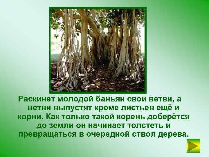 Раскинет молодой баньян свои ветви, а ветви выпустят кроме листьев ещё и корни. Как