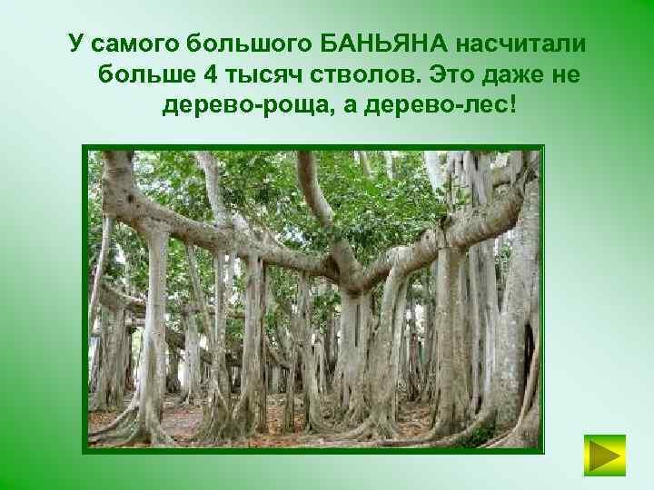 У самого большого БАНЬЯНА насчитали больше 4 тысяч стволов. Это даже не дерево-роща, а