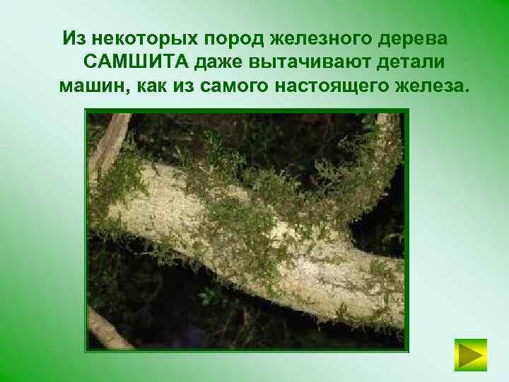 Из некоторых пород железного дерева САМШИТА даже вытачивают детали машин, как из самого настоящего