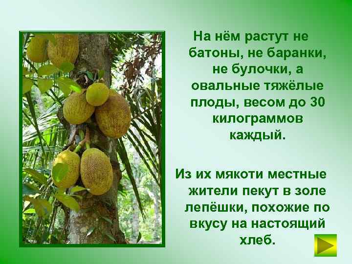На нём растут не батоны, не баранки, не булочки, а овальные тяжёлые плоды, весом